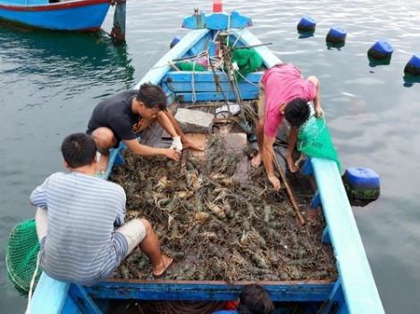 Trung Quốc ngưng mua, tôm hùm về Sài Gòn chưa đầy 1 triệu đồng/kg