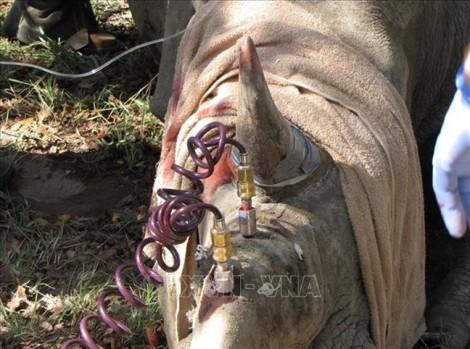 Sừng tê giác bị tiêm thuốc độc, sao không tổ chức nào cảnh báo?