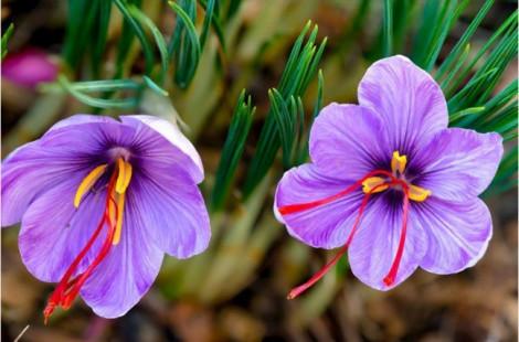 Bị thổi phồng như thần dược, nhụy hoa nghệ tây giá vài trăm triệu mỗi ký vẫn nhiều người mua
