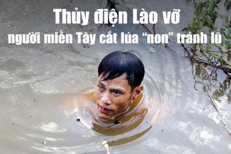Thủy điện Lào vỡ, người miền Tây cắt lúa 'non' tránh lũ
