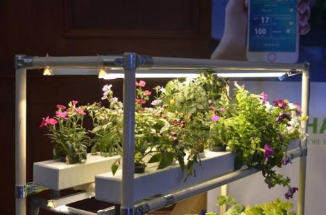 Người thành phố thắp đèn trồng rau sạch trong phòng khách như... nuôi thú cưng