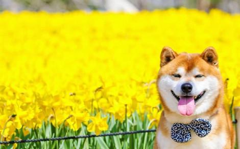 Chó Shiba Inu được lùng mua sau hiệu ứng 'Cậu Vàng'