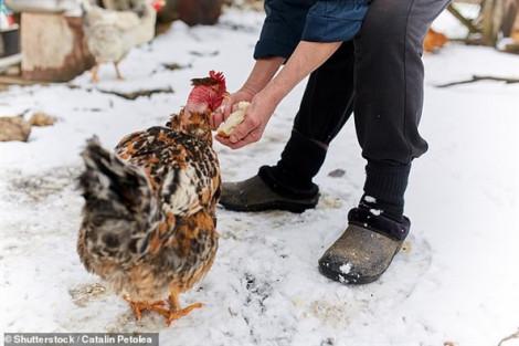 Ra vườn nhặt trứng, người phụ nữ bị gà trống sát hại