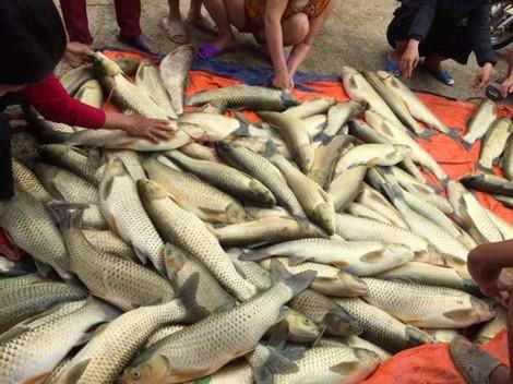 16 tấn cá nuôi lồng chết sạch do dân bỏ lại rơm trên đồng