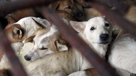 Quá nhiều nguy cơ về bệnh tật, TP.HCM khuyến cáo người dân từ bỏ thịt chó