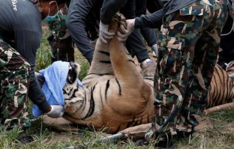 Test - Hổ chết hàng loạt sau khi được giải cứu từ Đền Hổ 'khét tiếng' Thái Lan
