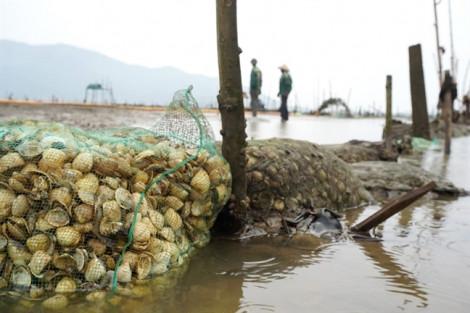 Hơn 250 tấn ngao chết trắng bãi do sốc nước ngọt
