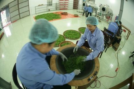 Trà (chè) trong nước bị cảnh báo dùng nhiều hóa chất cấm