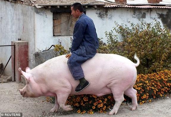 Mot nguoi Trung Quoc nuoi duoc con heo khong lo nang 500kg