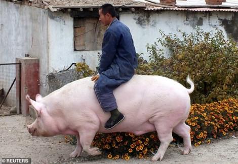 Một người Trung Quốc nuôi được con heo khổng lồ nặng 500kg