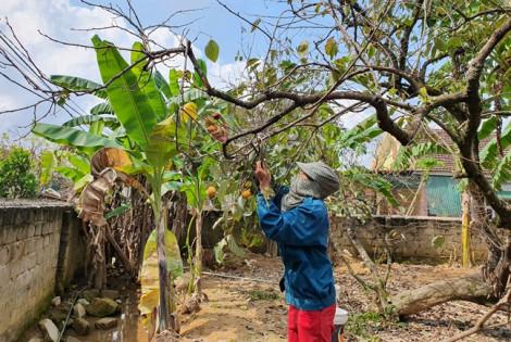 Nông dân xứ Nghệ mất cả mùa hồng vì lý do tưởng như vô hại