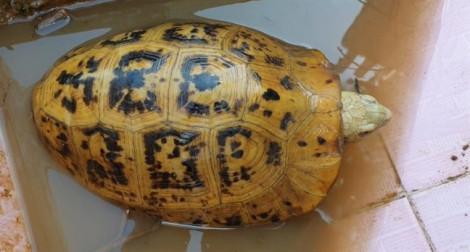 Người dân bắt được rùa vàng lạ ở Bình Dương
