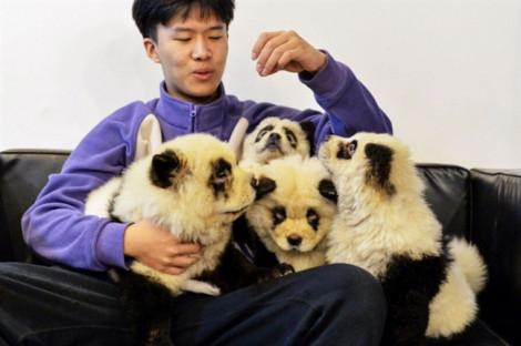 Quán cà phê hứng chỉ trích vì nhuộm chó thành gấu trúc