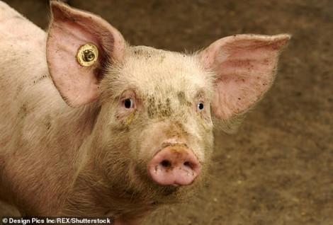 Dịch tả châu Phi 'quét sạch' khoảng 1/4 số lợn nuôi của thế giới