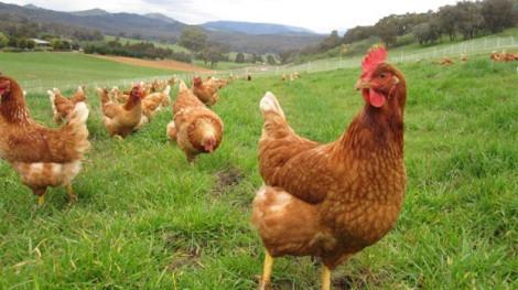 Lỡ tay mua 1.000 con gà với giá chưa đến 1 USD