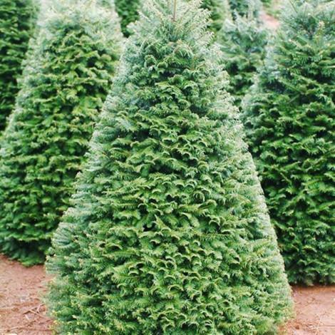 Giá tăng, cây thông thật vẫn được chuộng mùa Noel