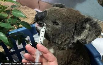 Hàng trăm con gấu túi bị thiêu sống trong ngọn lửa tại Úc