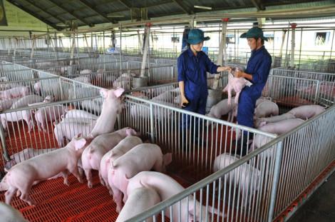 Con giống quyết định hiệu quả kinh tế trong chăn nuôi