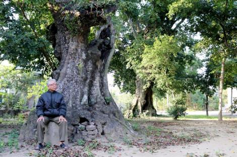 Cận cảnh 5 cây thị cổ gần 700 tuổi, nơi trú ẩn của bộ đội thời chiến