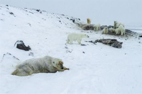 Ngôi làng đóng cửa vì bị bầy gấu Bắc Cực xâm chiếm