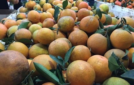 Khắp nơi trồng cam, nguy cơ phải giải cứu cam