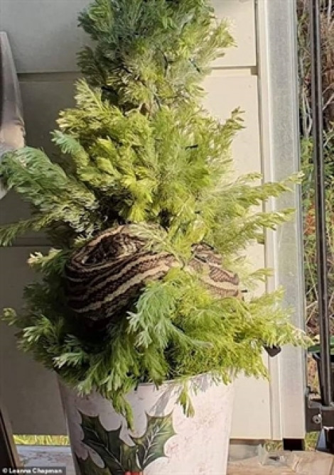 Vắng chủ nhà, con trăn dài 3 mét làm ổ trên cây thông Giáng Sinh