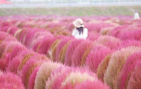 Những mùa cỏ đẹp đến ngẩn ngơ ở Nhật Bản, Hàn Quốc và Đài Loan