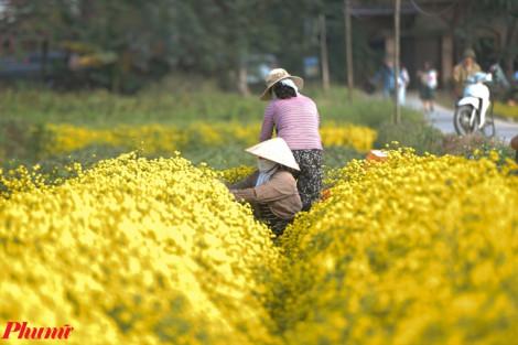 Cánh đồng cúc 'tiến vua' vàng rực thu hút hàng trăm khách du lịch