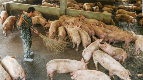 Trung Quốc: Trang trại lớn giúp cơ sở nhỏ để tái đàn heo sau dịch