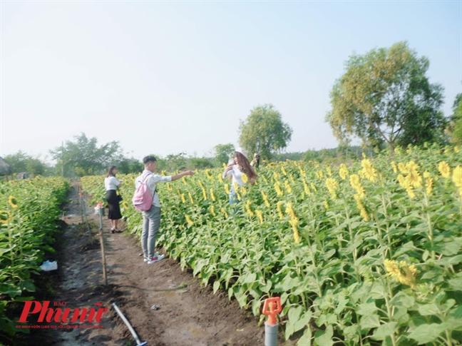Cuoi nam tha ho 'song ao' trong vuon hoa huong duong Quan 9