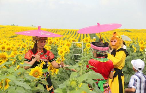 'Rụng tim' với cánh đồng hoa hướng dương miền tây xứ Nghệ