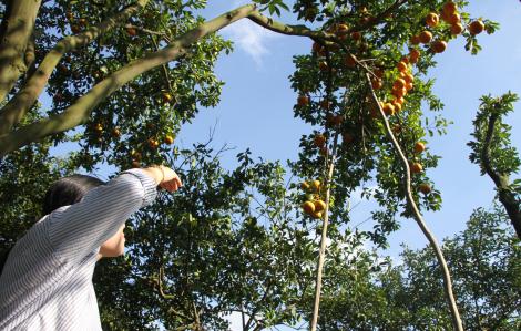 Dân trồng quýt hồng Lai Vung khóc ròng dù giá bán cao kỷ lục