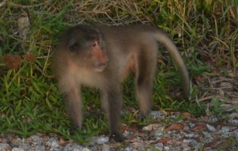 Thả 4 cá thể khỉ có nguy cơ bị đe dọa về rừng ngập mặn