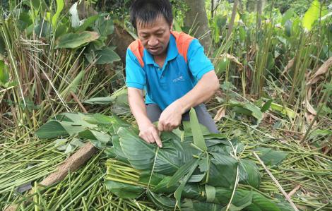 Nông dân Hà Tĩnh tất bật thu hoạch lá dong phục vụ thị trường tết