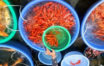 Chợ cá chép nhộn nhịp trước ngày đưa ông Công, ông Táo
