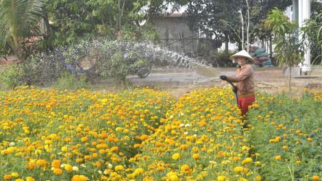 Mứt khoai lang và hoa vạn thọ