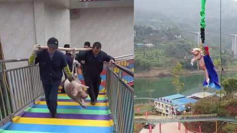 Đem heo đi nhảy bungee, công viên tại Trung Quốc bị dân mạng lên án dữ dội