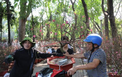 Hoa đào miền Bắc về Sài Gòn giảm, giá tăng vọt