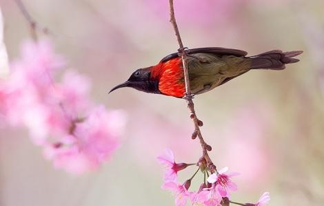Cuộc đọ sắc tình cờ giữa hoa đào Đà Lạt và các loài chim