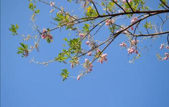 Mùa xuân đi ngắm hoa anh đào