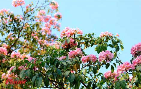 Ngắm hoa kèn hồng khoe sắc sớm trong gió xuân Sài Gòn