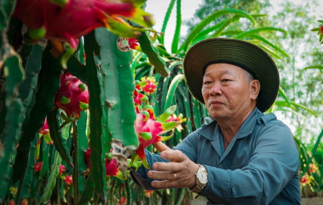 Nông dân rơi nước mắt nhìn thanh long chín đỏ vườn nhưng không dám hái vì… càng bán càng lỗ