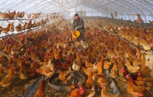 Trung Quốc phát hiện ổ cúm gia cầm H5N6 ở tỉnh Tứ Xuyên