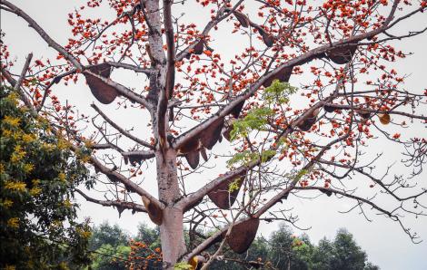Vẻ đẹp cuốn hút của cây gạo có hàng chục tổ ong rừng được chủ bảo vệ suốt nhiều năm qua