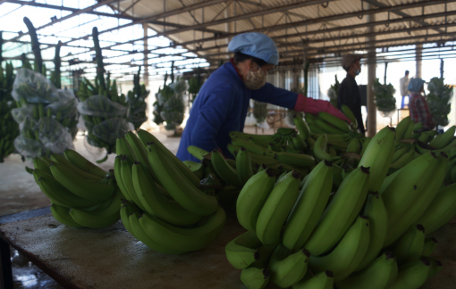 Gặp khó tại thị trường Trung Quốc, rau quả xuất mạnh sang Lào, Thái Lan, Nga