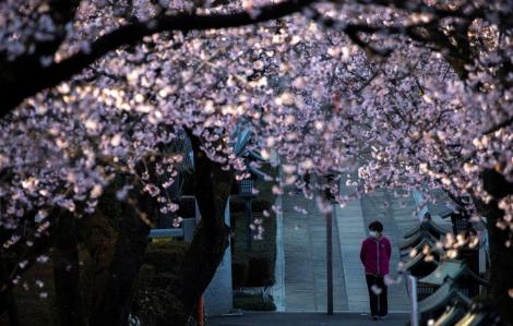 Nhật Bản nở rộ hoa anh đào nhưng vắng tanh du khách