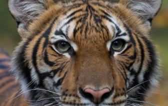 Con hổ đầu tiên tại New York nhiễm SARS-CoV-2