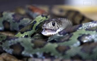 Làng rắn Trung Quốc giảm quy mô sau lệnh cấm buôn bán động vật hoang dã