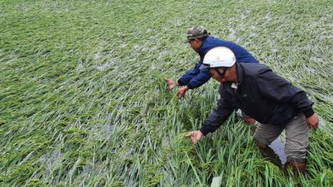 Hơn 10.000ha lúa có nguy cơ mất trắng do mưa lớn