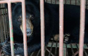 Phương thuốc mật gấu trị COVID-19 của Trung Quốc đánh động các tổ chức bảo vệ động vật